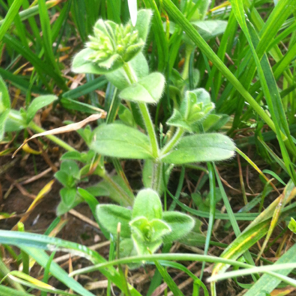 Mouse Eared Chickweed